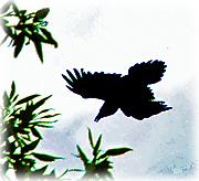 Refuge Raven